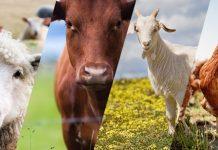 Hayvancılık sigortası nedir?