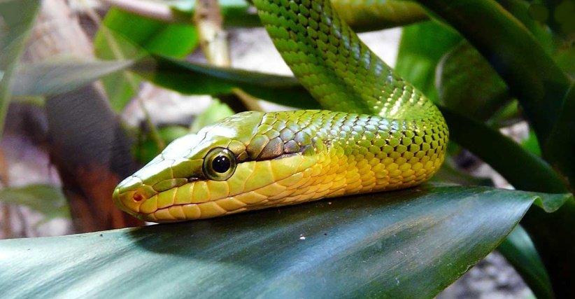 Rüyada yeşil renk yılan görmek