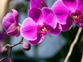Zarafetin Sembolü Orkide