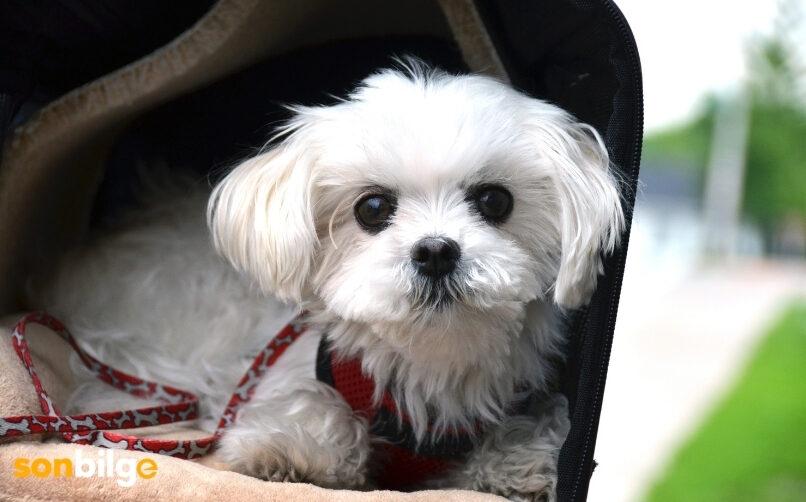 Büyümeyen Köpek Türü: Maltese Terrier