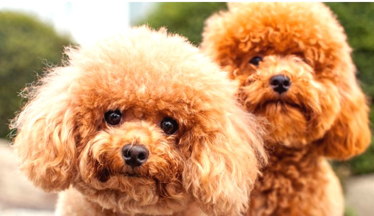 Büyümeyen Köpek Türü: Poddle Toy
