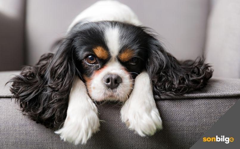Köpeklerde Deri ve Tüy Hassasiyeti nedenleri